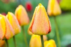Tulipes de goutte de rosée Images stock