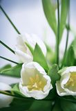tulipes de groupe blanches photo stock