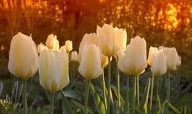 Tulipes de jardin de coucher du soleil Photos libres de droits