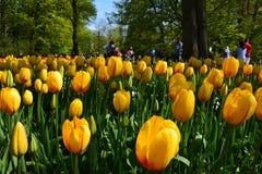 Tulipes de Monsela photos libres de droits