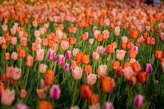 Tulipes de pêche Images libres de droits
