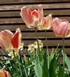 Tulipes de pêche, oranges et jaunes en fleur images stock