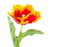 Tulipes de perroquet d'isolement sur le blanc Image libre de droits