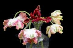 Tulipes de perroquet d'isolement sur le fond noir image libre de droits