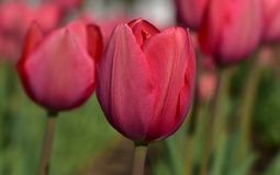 Tulipes de printemps rouge avec les pétales rouges sur le fond du bokeh sensible images stock