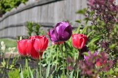 Tulipes de ressort Photographie stock libre de droits