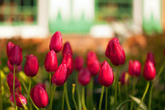 Tulipes de ressort Images stock