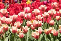Tulipes de ressort Photos libres de droits