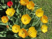 Tulipes de ressort Photographie stock