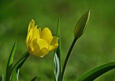 Tulipes de ressort en gros plan Photographie stock libre de droits