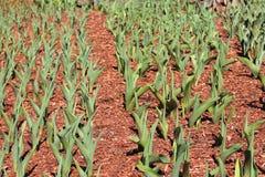 Tulipes de ressort presque prêtes à fleurir Images stock