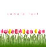 Tulipes de ressort sur un fond blanc Photo libre de droits