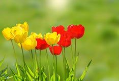 Tulipes de ressort sur une pelouse verte au soleil photos libres de droits
