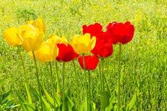 Tulipes de ressort sur une pelouse verte ensoleillée, contre-jour photographie stock