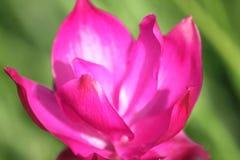 Tulipes de rose du Siam dans le domaine photo libre de droits