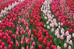 Tulipes de rouge de jardin de Keukenhof Image libre de droits