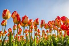 Tulipes de rouge et de tellow image stock