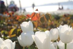 Tulipes de rouge de Wihite images libres de droits