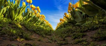 Tulipes de Skagit, Washington State Images libres de droits