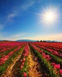 Tulipes de Skagit, Washington State Photo stock