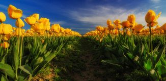 Tulipes de Skagit, Washington State Image stock