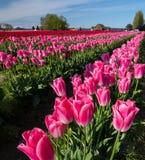 Tulipes de Skagit, Washington State Photos libres de droits
