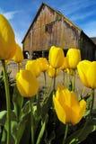 Tulipes de Skagit, Washington State Photographie stock libre de droits