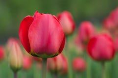Tulipes de source. Image libre de droits