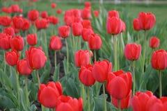 Tulipes de source. Photos libres de droits