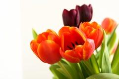 Tulipes de source Image libre de droits