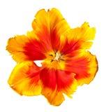 tulipes de source Photographie stock