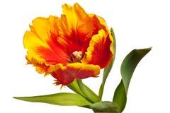 tulipes de source Photos stock