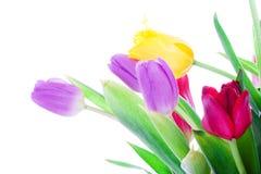 Tulipes de source d'isolement sur un blanc Photo stock