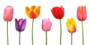 Tulipes de source dans des couleurs assorties Photo stock