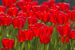 Tulipes de source imbibées par le soleil Photographie stock libre de droits