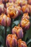 Tulipes de Sping Photos stock