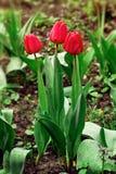 Tulipes de trio dans les baisses après pluie dans le printemps Image stock