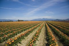 Tulipes de vallée de Skagit Photos stock