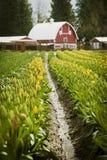 Tulipes de vallée de Skagit. Photographie stock libre de droits