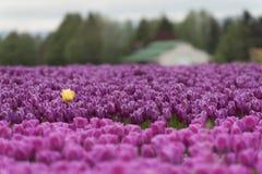 Tulipes de vallée de Skagit photos stock
