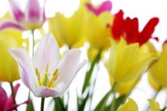 Tulipes de zone Photos libres de droits