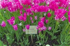 Tulipes des espèces rêveuses de club Photographie stock