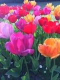 Tulipes du jardin 库存照片