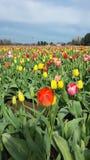 Tulipes en abondance images libres de droits