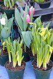 Tulipes en fleur dans des pots, et tulipes environ à fleurir dans des pots image libre de droits