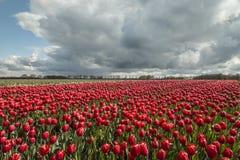 Tulipes en Hollandes photos libres de droits