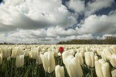Tulipes en Hollandes photographie stock libre de droits