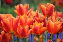 Tulipes en luzerne Image stock