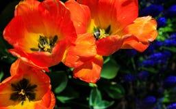 Tulipes en pleine floraison à Albany NY Washington Park Images libres de droits