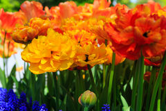 Tulipes en pleine floraison à Albany NY Washington Park Image stock